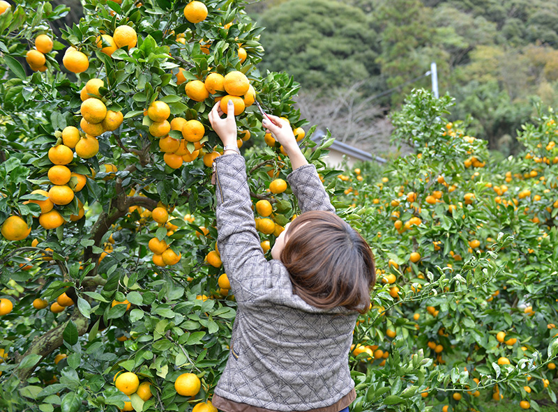 Mandarin orange picking
